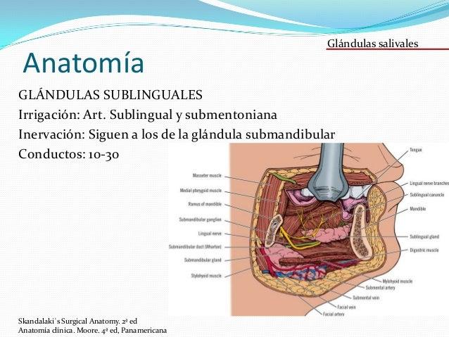 Glándulas salivales. Embriología, anatomía y fisiología de glándulas …