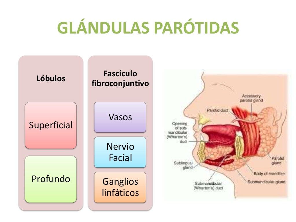 Glándulas salivales embriología, anatomía y fisiología