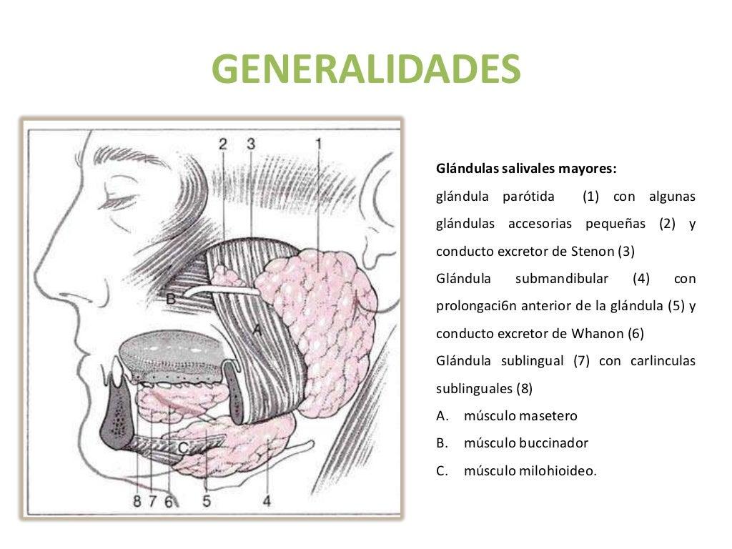 Vistoso La Anatomía Y Fisiología De La Glándula Parótida Bandera ...