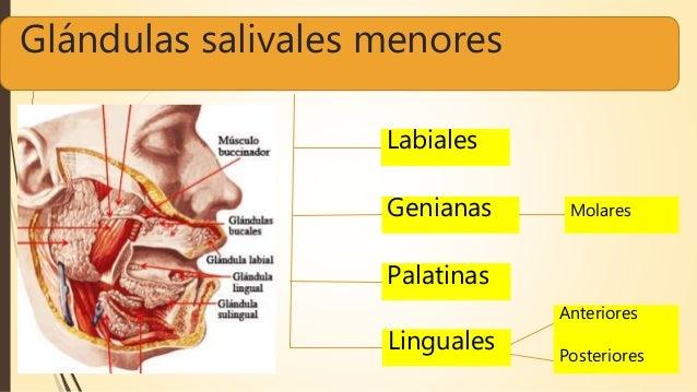 Glándulas salivales menores