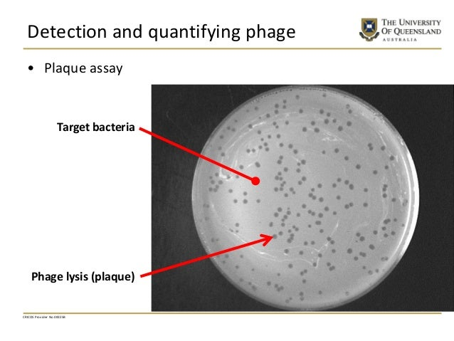 Detection and quantifying phage • Plaque assay CRICOS Provider No 00025B Target bacteria Phage lysis (plaque)