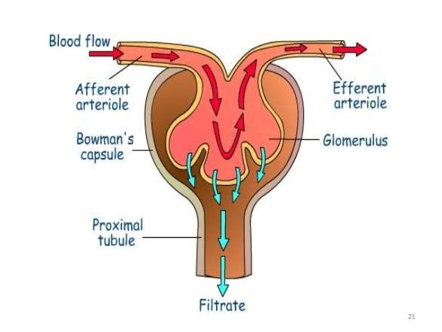Glomerular Filtration Is High And Is Regulated Precisely