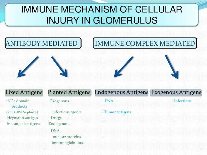 IMMUNE MECHANISM OF CELLULAR             INJURY IN GLOMERULUSANTIBODY MEDIATED                             IMMUNE COMPLEX ...