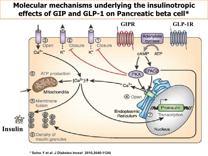 Molecular mechanisms underlying the insulinotropic    effects of GIP and GLP-1 on Pancreatic beta cell*                   ...