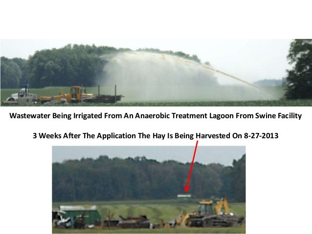 Wastewater Being Irrigated From An Anaerobic Treatment Lagoon From Swine Facility 3 Weeks After The Application The Hay Is...
