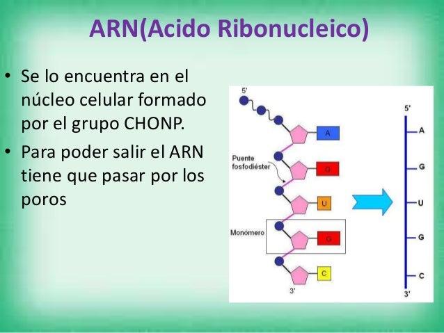 Tipos de ARN • ARN mensajero(RNA) • Lleva la información sobre la secuencia de aminoácidos de la proteína desde el ADN, lu...