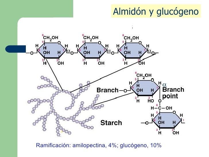  Almidón y glucógeno Ramificación: amilopectina, 4%; glucógeno, 10%