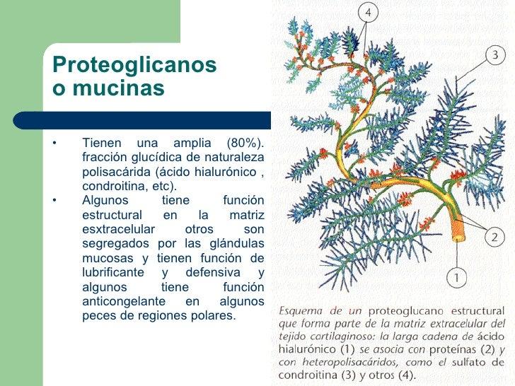 Proteoglicanos o mucinas <ul><li>Tienen una amplia (80%). fracción glucídica de naturaleza polisacárida (ácido hialurónico...