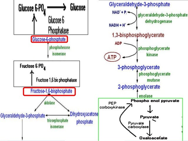 gluconeogenesis fructose 1 6 bisphosphatase deficiency Fructose-1,6-biphosphatase (fbp) deficiency is a disorder of fructose metabolism  (see  fructose-1,6-bisphosphatase1, resulting in impaired gluconeogenesis.