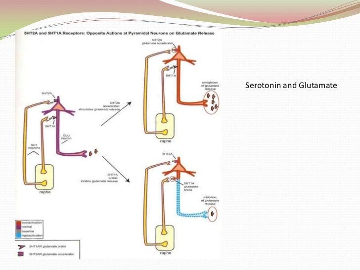 Cortico-brainstem Mesocortical Pathway<br />