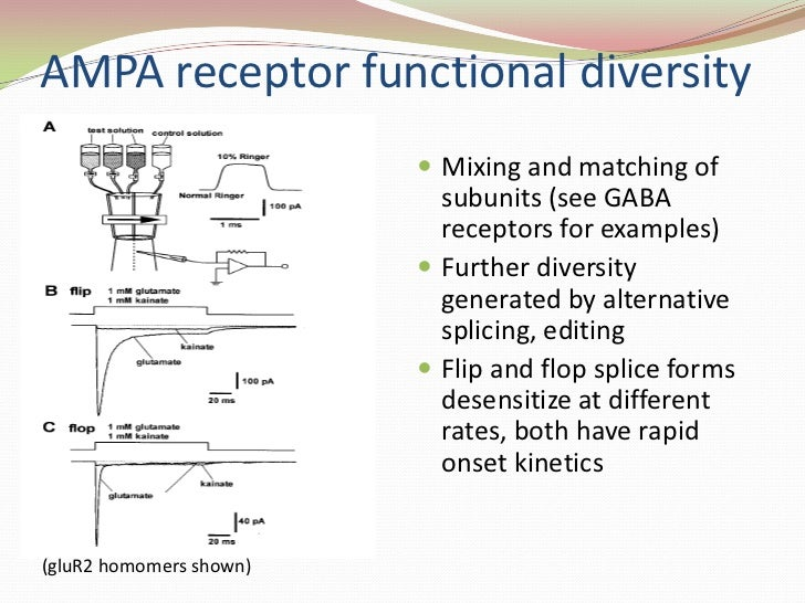 AMPA receptor functional diversity<br />Mixing and matching of subunits (see GABA receptors for examples)<br />Further div...