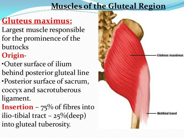Anatomy Of Gluteal Region