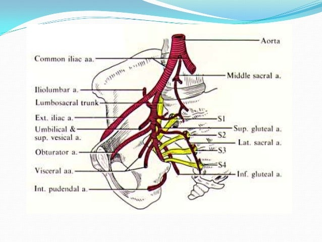 Gluteal muscle anatomy