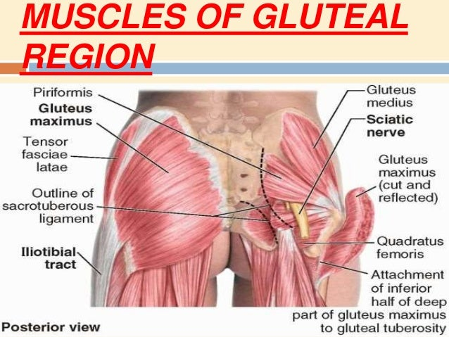 Applied And Basic Intro Of Gluteal Region