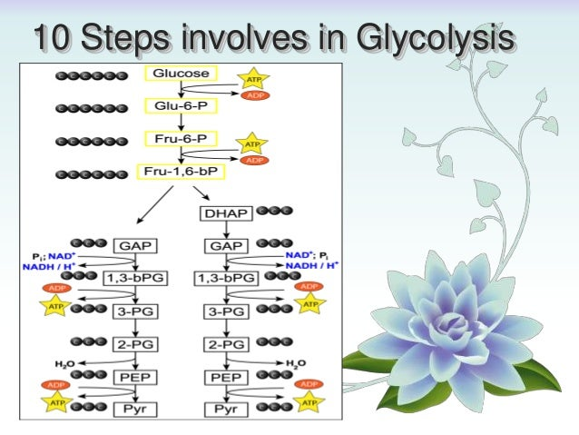 Glycolysis (10 Steps) By: Asar Khan