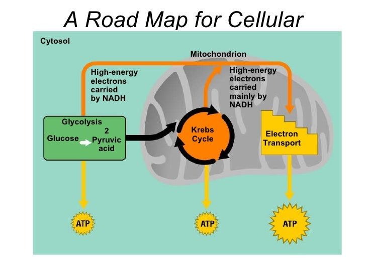 A Road Map for Cellular Respiration Cytosol Mitochondrion High-energy electrons carried by NADH High-energy electrons carr...