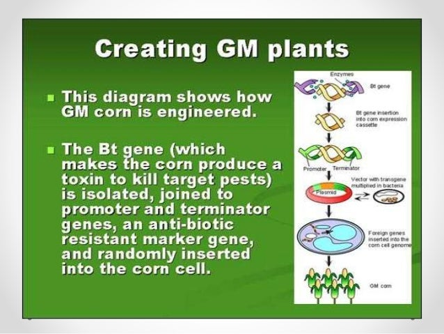 genetically altered plants increased crop production The promise that genetically modified crops could help feed the world is at least as old as the commercialization of the first transgenic seeds in the mid-1990s.