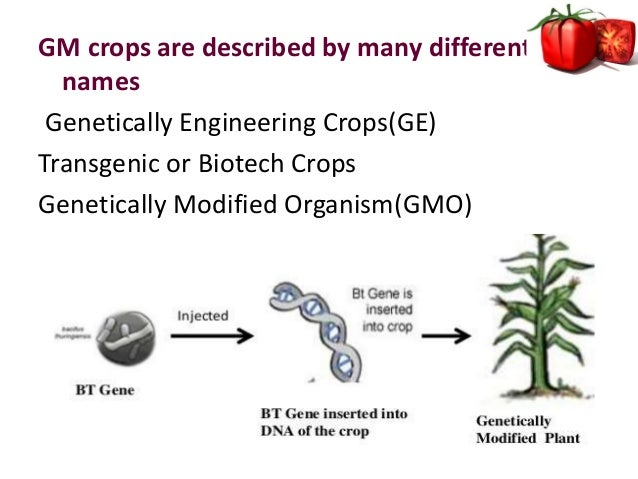 controversies of genetically modified crops Roundup ready crops there is a great deal of controversy surrounding monsanto the fda does not require that genetically modified food seeds be proved safe.
