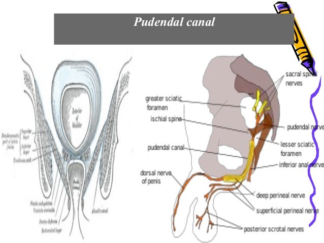 pudendal canal
