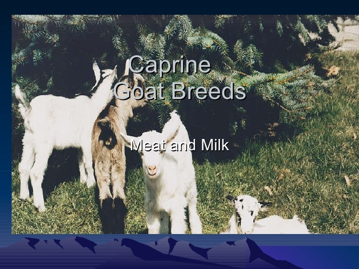 Caprine  Goat Breeds Meat and Milk