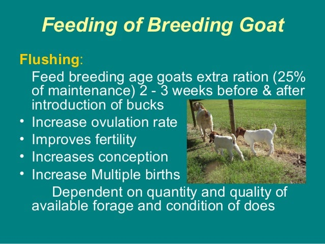 Feeding of Breeding Goat Flushing: Feed breeding age goats extra ration (25% of maintenance) 2 - 3 weeks before & after in...