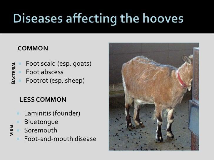 Goat Hoof Health And Management