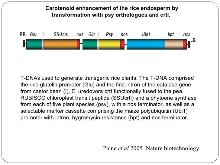 Photograph of polished wild-type and transgenic rice grainscontaining the T-DNA with the daffodil psy (Np) or maize psy(Zm...
