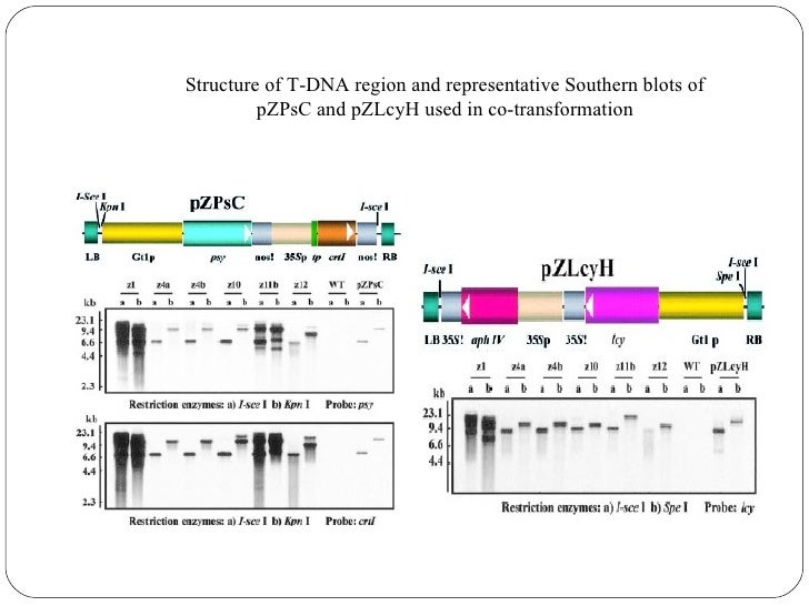 Analysis of carotenoid from transgenic lines                                   Line h2bControl seed                  (Sing...