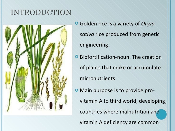 Golden rice ppt toneelgroepblik Image collections