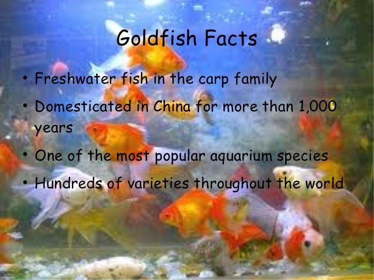 Mindy 39 s goldfish powerpoint for Facts about fishing