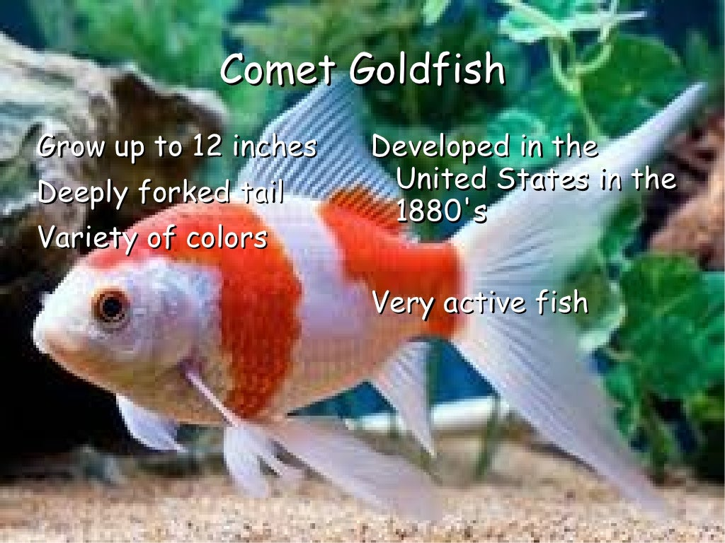 Mindy\'s Goldfish PowerPoint