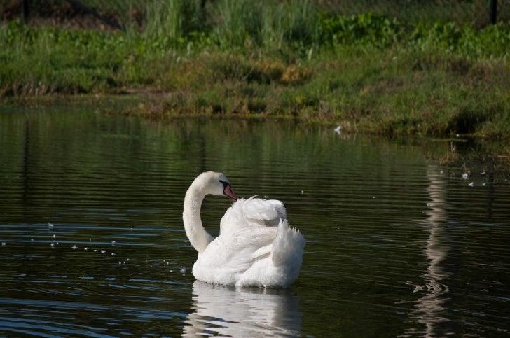 Goleta - Swan