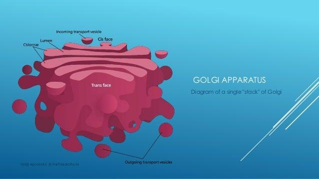 Golgi apparatus golgi apparatus diagram ccuart Choice Image