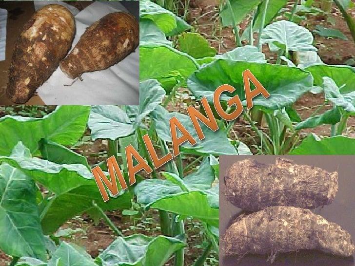 Goma de malanga 2