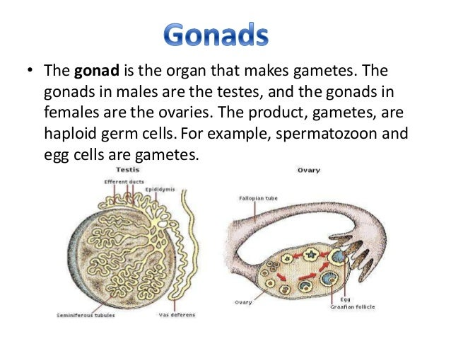 steroid hormone produced by the gonads