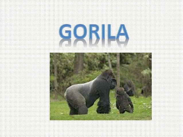• LOS GORILAS DE MONTAÑA QUE VIVE EN REPÚBLICA DEMOCRÁTICA DEL CONGO, RUANDA Y UGANDA, JUNTO CON UNA PEQUEÑA POBLACIÓN DE ...