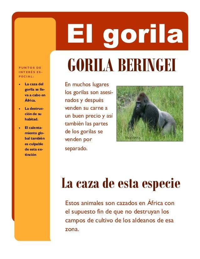 En muchos lugares los gorilas son asesi- nados y después venden su carne a un buen precio y así también las partes de los ...