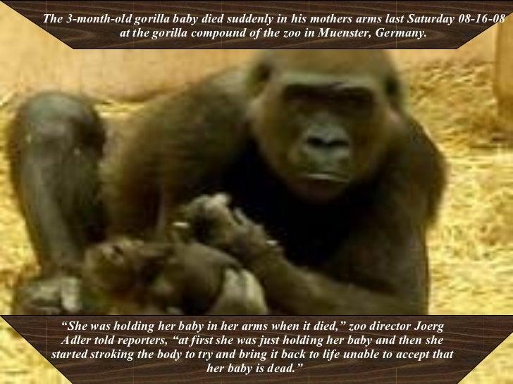 Gorilla Distraught Over Her Dead Baby Slide 2