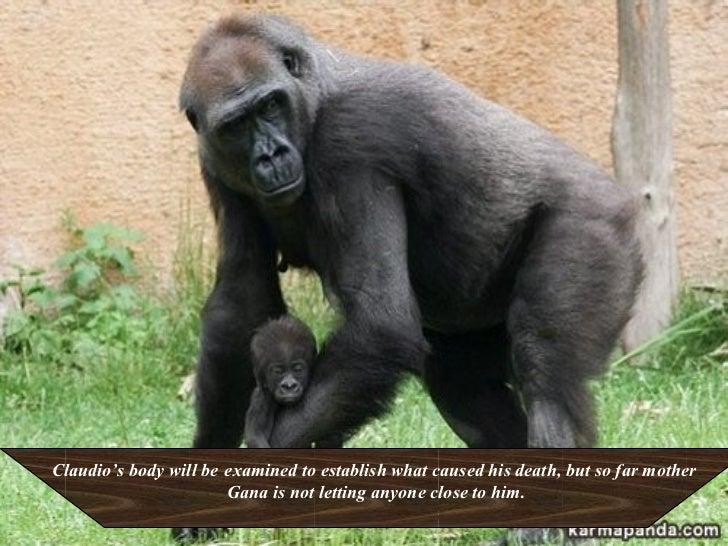 Gorilla Distraught Over Her Dead Baby Slide 3