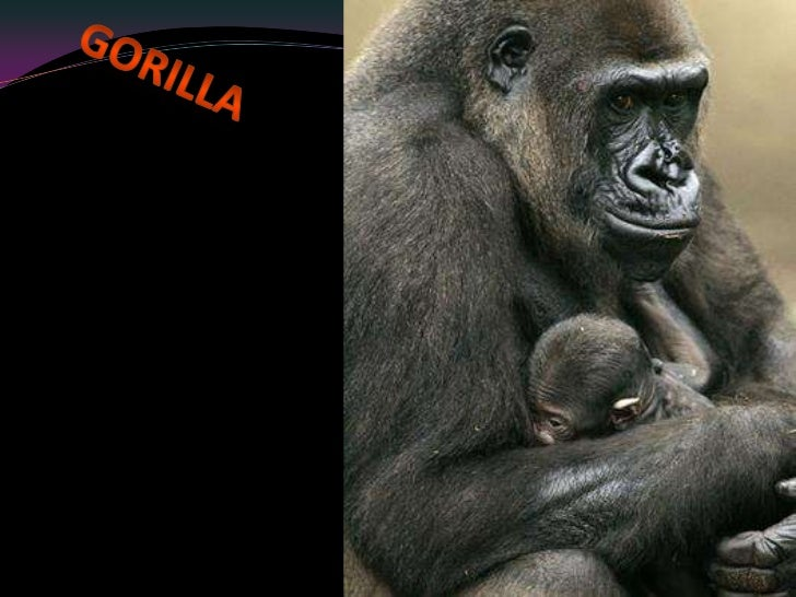 Gorilla<br />