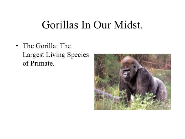 Gorillas In Our Midst.• The Gorilla: The  Largest Living Species  of Primate.