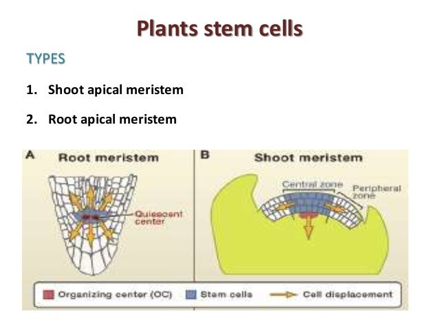 plant-stem-cells-5-638.jpg?cb=1440666654