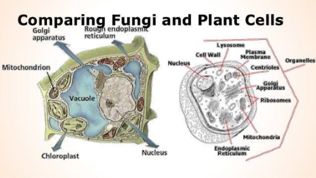 Fungi Cell Diagram Image Collections Diagram Writing