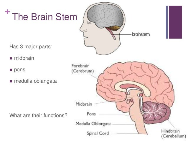 basic parts of the brain and their functions www