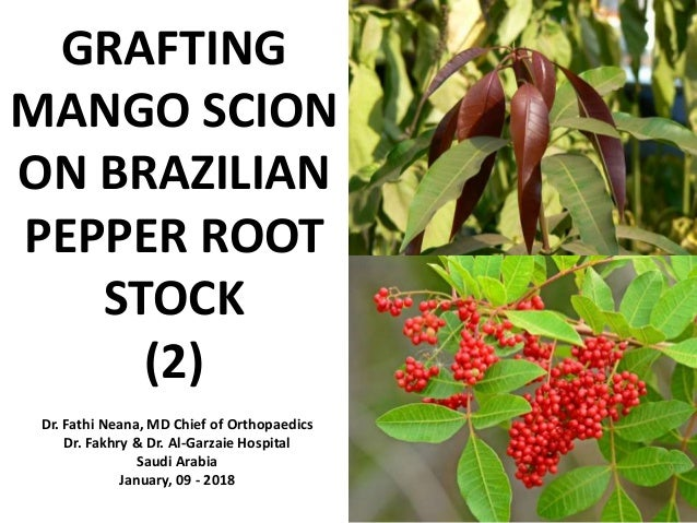 GRAFTING MANGO SCION ON BRAZILIAN PEPPER ROOT STOCK (2) Dr. Fathi Neana, MD Chief of Orthopaedics Dr. Fakhry & Dr. Al-Garz...