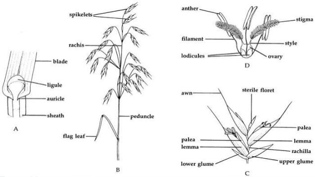 Gramineae poaceae is the one of the largest plant family 15 ccuart Image collections