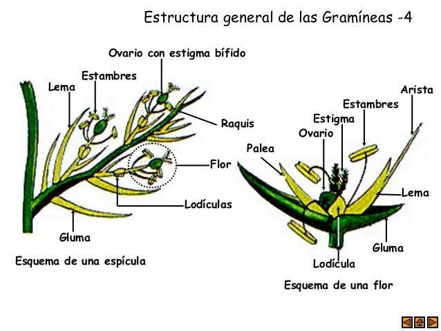 estructura general de las gramíneas 4 esquema de una espícula