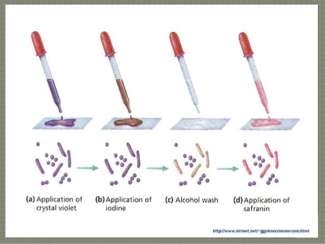 how to do gram staining Gram stain 1 perform a bacterial smear, as discussed in figure 3-52 on page 150 of your lab manual  need to do the stain again to get accurate results stain.