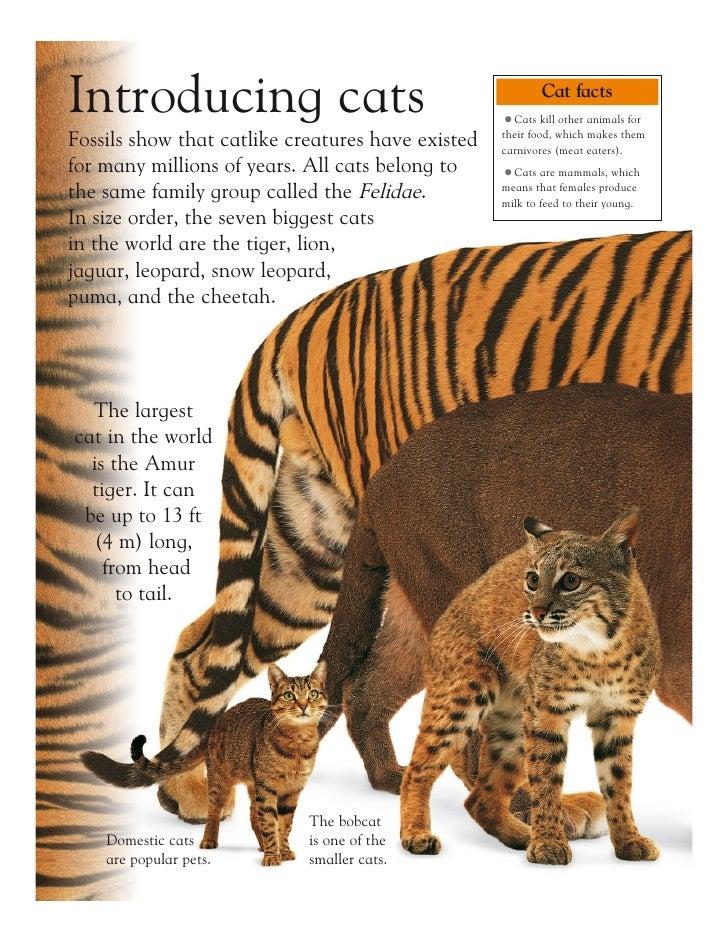 Grandes Felinos - Big Cats