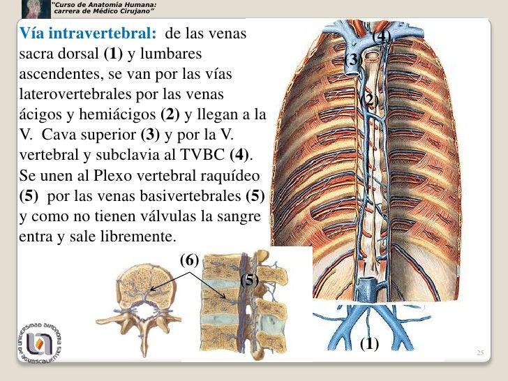 Grandes vasosnervios